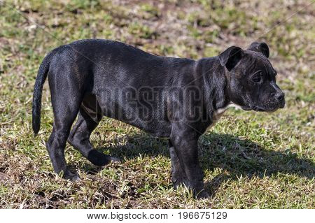 Black Staffordshire Bull Terrier Puppy Standing On Dry Lawn