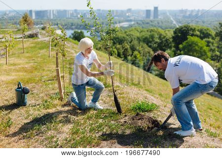 I will manage that. Strong accurate devoted guy using a shovel for making a hole while another volunteer holding a new trees they planting together in the park