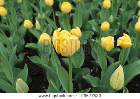 Close Up Of Yellow Flower Of Tulip