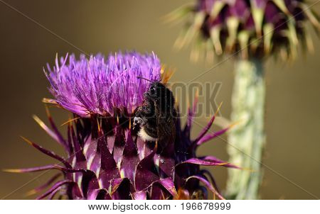 Bumblebee and artichoke flower in foreground, wild thistle of Gran canaria island, onopordum carduelium