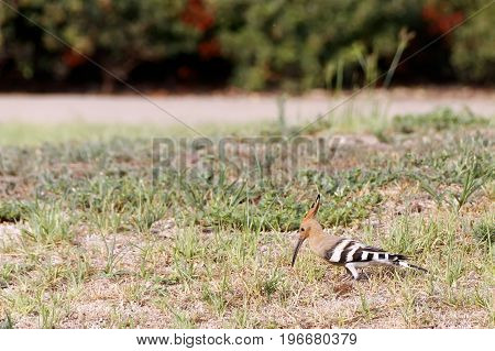 Hoopoe Bird on the grass looking for a food