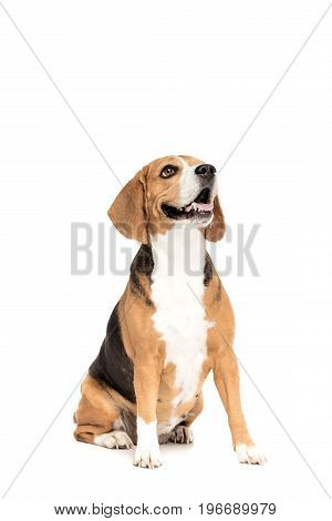 Cute Funny Beagle Dog Looking Up, Isolated On White