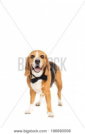 Cute Beagle Dog Standing In Bow Tie, Isolated On White