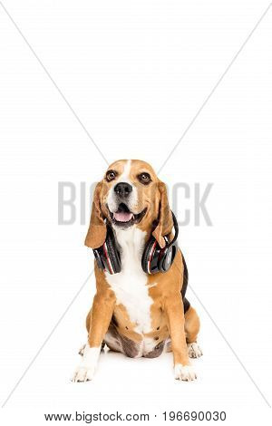 Funny Beagle Dog Sitting With Headphones, Isolated On White