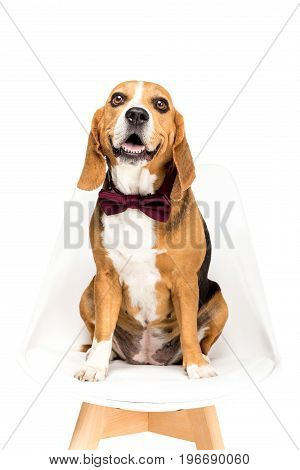 Beagle Dog In Bow Tie Sitting On Chair, Isolated On White
