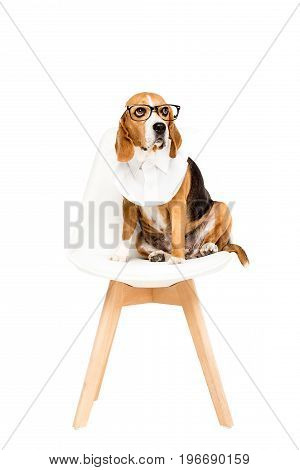 Beagle Dog In Eyeglasses Sitting On Chair, Isolated On White