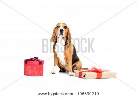 Beagle Dog Sitting With Two Present Boxes, Isolated On White