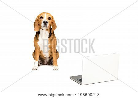 Cute Beagle Dog Litting With Laptop, Isolated On White
