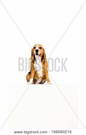Beagle Dog With White Empty Blank, Isolated On White