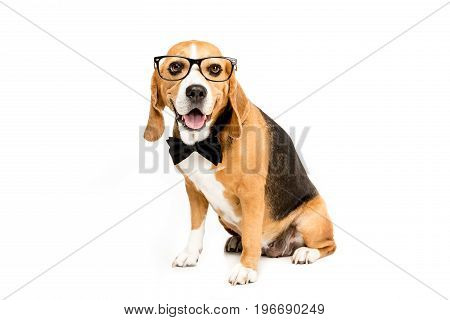 Funny Beagle Dog Sitting In Eyeglasses And Bow Tie, Isolated On White