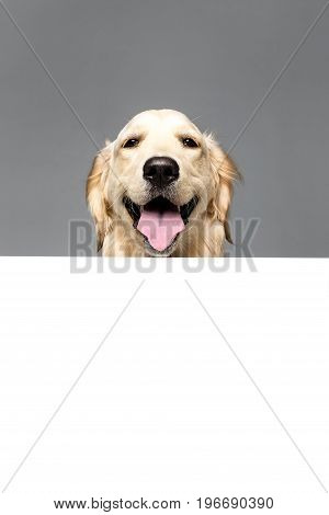 Golden Retriever Dog With White Empty Blank, Isolated On Grey