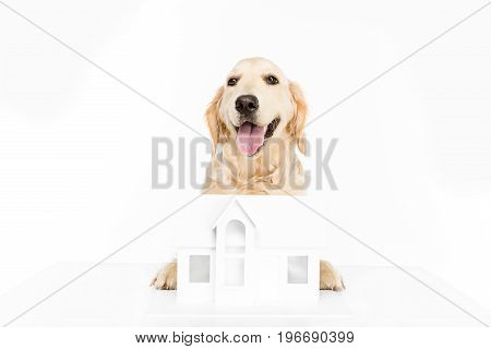 Golden Retriever Dog With Paper House Model, Isolated On White