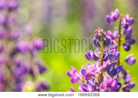 Blooming lupine flowers. A field of lupines. Violet spring and summer flowers. Gentle warm soft colors, blurred background