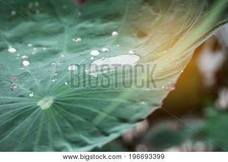 Lotus leaves and drops of water to light in the rainy season.
