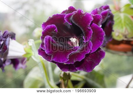 Decorum plant beautiful dark purple Gloxinia flower Sinningia speciosa