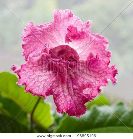 Decorum plant beautiful Streptocarpus flower. Sort DS-Eternity