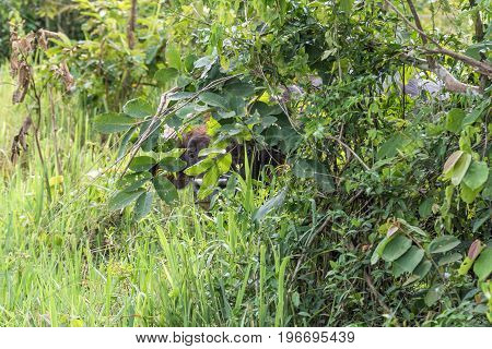 A wild gaur (Bos gaurus) hide itself behind tree in Kui Buri National Park Thailand.