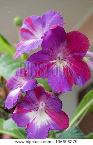 Decorum plant beautiful Streptocarpus flowers. Sort Spin Art