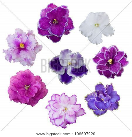 Collection of various pink white and violet flowers isolated on white background. Violets set