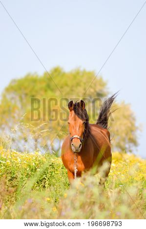 Brown horse in a meadow filled with daisies on the island of Crete