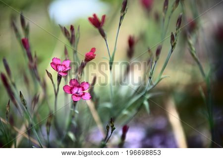 small wild carnation in backlit sunlight. Summer background