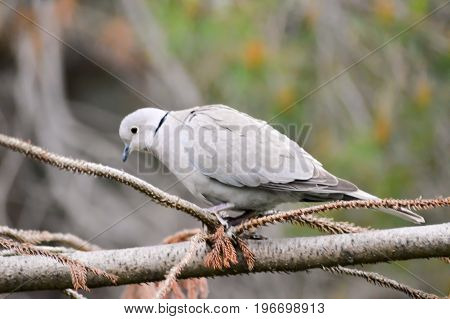 Dove on a branch of the island of Crete in Greece
