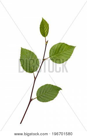 Branch with green leaves on a white background isolated