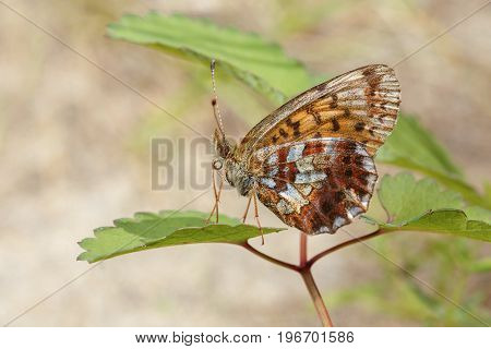 Brown butterfly with spotted wings sitting on leaves close-up