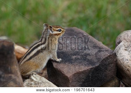 A watchful chipmunk is sitting on a rock