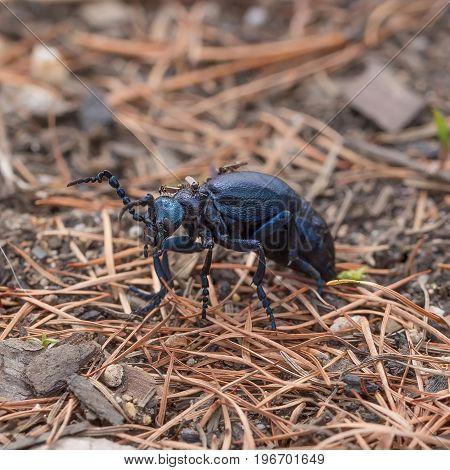 Small midge annoying bites of blue beetle macro