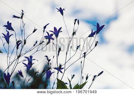 Bellflowers Silhouettes In Summer Garden