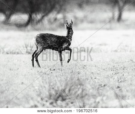 Old Black And White Photo Of Roe Deer Buck With One Front Leg Pulled Up In Field.