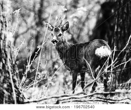 Old Black And White Photo Of Roe Deer Buck Between Trees In Forest.