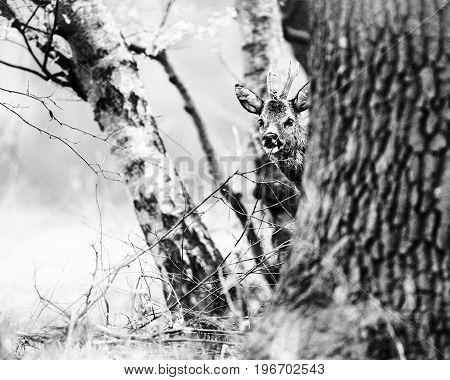 Old Black And White Photo Of Curious Roe Deer Buck Peeking Behind Tree.