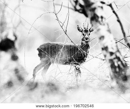 Old Black And White Photo Of Roe Deer Buck Standing Between Birch Trees.