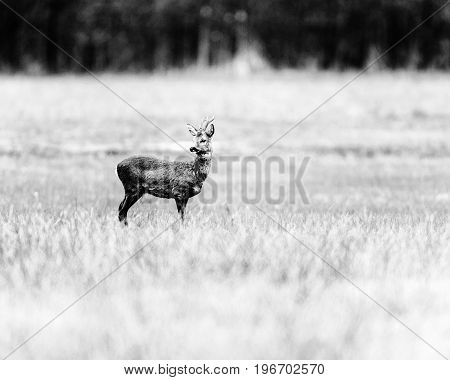 Old Black And White Photo Of Roe Deer Buck Standing In Field.