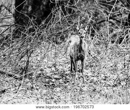 Old Black And White Photo Of Alert Roe Deer Doe Standing Between Bushes.