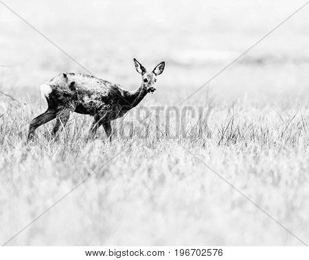 Old Black And White Photo Of Alert Roe Deer Doe Creeping In Field Of Grass.