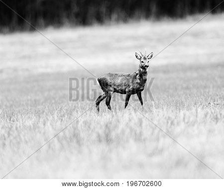 Old Black And White Photo Of Roebuck Walking In Meadow. Alert Looking Around.