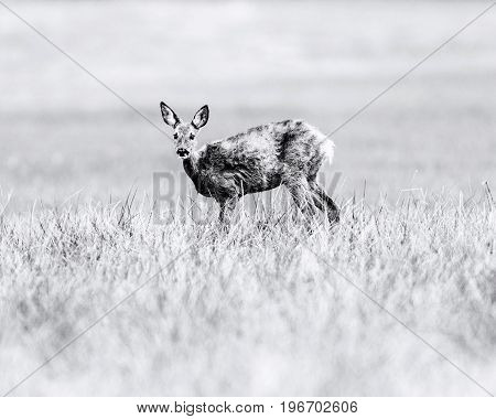 Old Black And White Photo Of Roe Deer Doe During Moult Standing In Meadow. Looking Up.