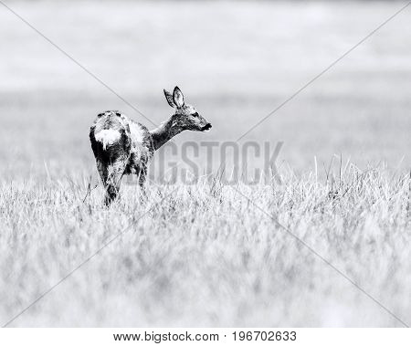 Old Black And White Photo Of Doe During Moult Standing In Meadow. Looking Aside.