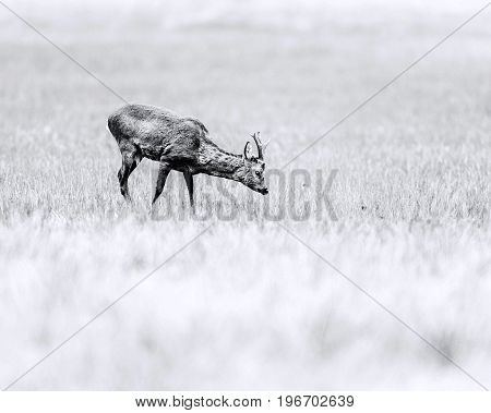 Old Black And White Photo Of Roebuck Grazing In Field. Head Down Towards Grass.