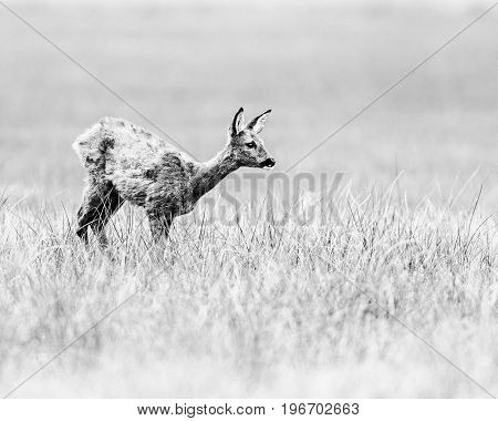 Old Black And White Photo Of Roe Deer Doe Standing In A Field.