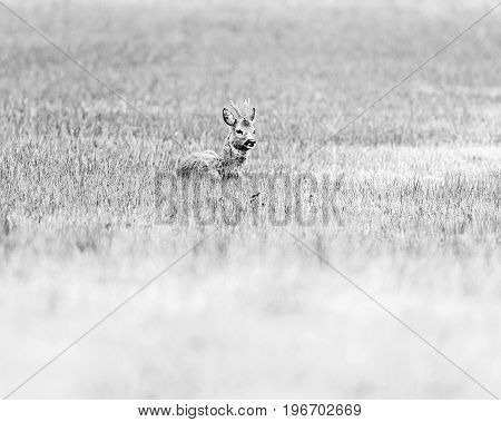 Old Black And White Photo Of Ruminating Roebuck Lying Down In A Field.