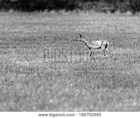 Old Black And White Photo Of Young Roe Deer Doe During Moult Walking In Meadow.