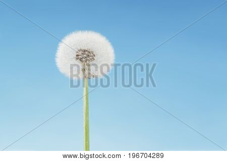 Overblown dandelion close-up Copy space on blue sky