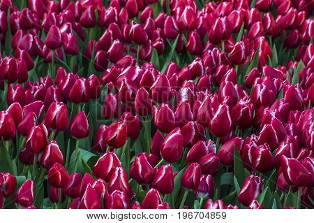 Enormous field of red and white tulips with green leaves