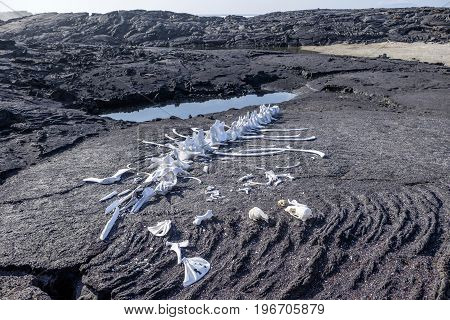 Skeleton of a whale bleached by sun on black volcanic lava rock formation on Fernandina Island Galapagos