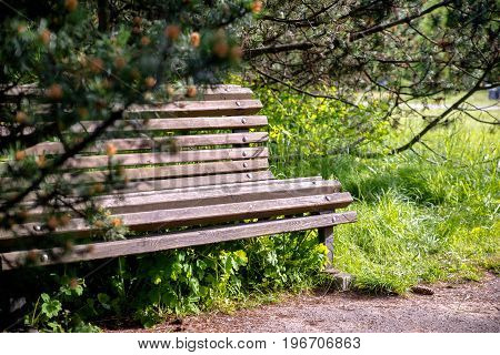 A wooden bench stands in a park under a pine
