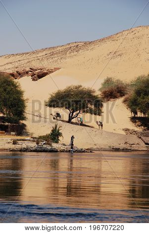 Camels in the desert by river Nile, Egypt